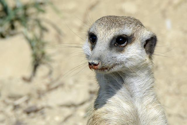 Meerkat, Animal, Cute, Fur, Sweet, Mammal, Nature