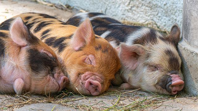 Pigs, Piglet, Animal Babies, Cute, Mammals, Breed Pigs