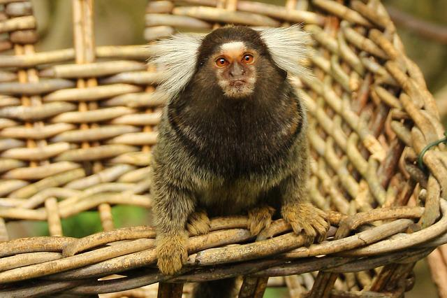 Marmoset, Monkey, Animal, Mammal, Cute, Primate