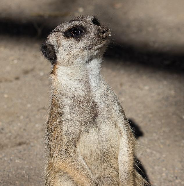 Meerkat, Mammal, Animal, Animal World, Guard, Fur, Cute
