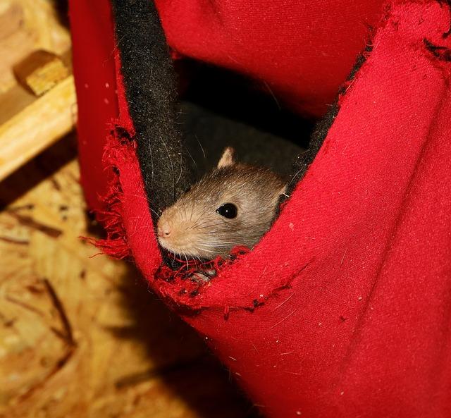 Rodent, Mouse, Rat, Mammal, Cute, Portrait, Shy, Animal