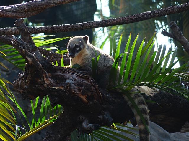 South American Coati, Coati, Animal, Cute, Nasua Nasua