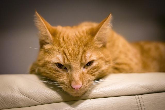 Cute, Cat, Animal, Portrait, Pet, Fur, Red, Mieze