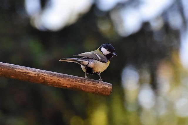 Tit, Songbird, Small Bird, Bird, Cute, Plumage
