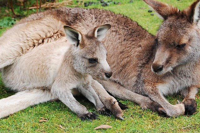 Kangaroo, Joey, Wallaby, Baby, Cute, Pouch, Mother