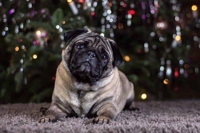 Pug, Dog, Portrait, Cute, Animal, Pet