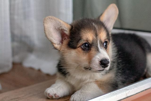 Puppy, Corgi, Cute, Charming, Dog, Animals