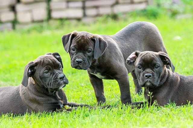 Puppy, Puppies, Cute, Bulldog, Bulldogs, Black, Garden
