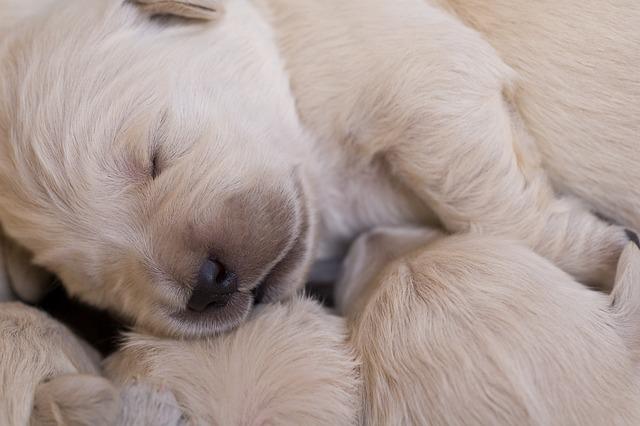 Puppies, Golden, Retriever, Cute Puppy, Dog Puppy, Dog