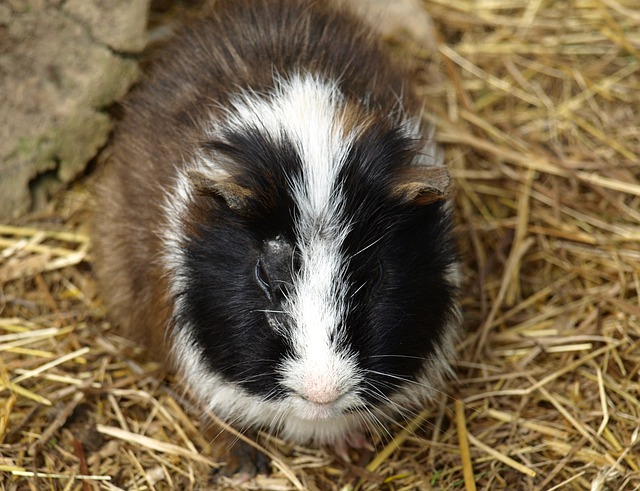 Guinea Pig, Sea ​​pig House, Sweet, Cute, Rodent