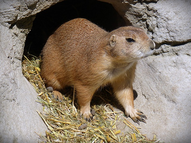 Prairie Dog, Animal, Rodent, Sweet, Nature, Small, Cute