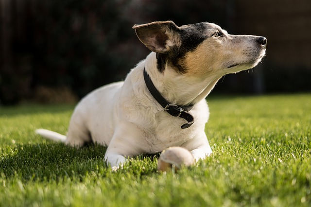 Dog, Jack Russel, Pet, Terrier, Cute, Animals, Russel