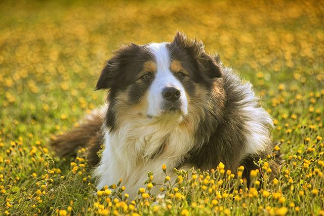 Mammal, Dog, Lawn, Cute, Animal, Pet, Canine, Sheepdog