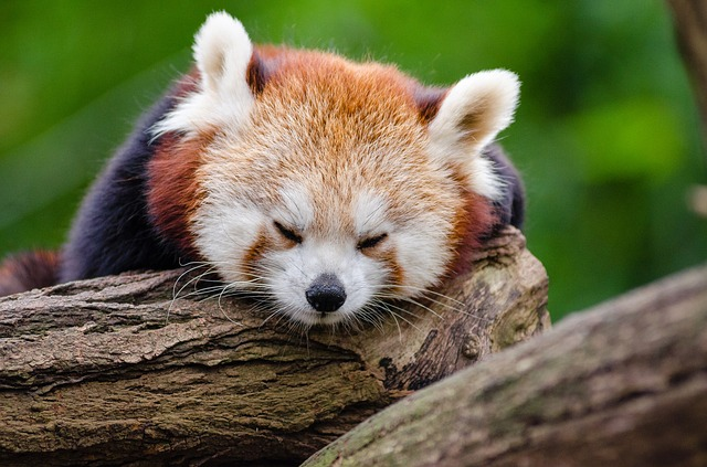Red Panda, Sleeps, Rest, Cute, Tired, Little Panda