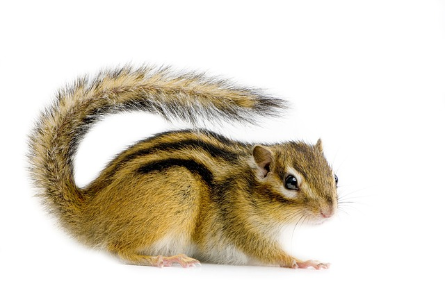 Rodent, Cute, Mammal, Downy, Animal, Little, Squirrel