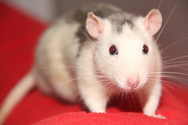 Rat, Pet, Animal, Animals, Sweet, Cute