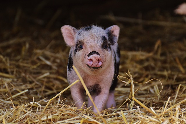 Piglet, Wildpark Poing, Baby, Small Pigs, Cute, Sweet