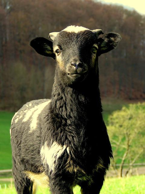 Sheep, Black, Pillar, Black Sheep, Cute, Wool, Lamb
