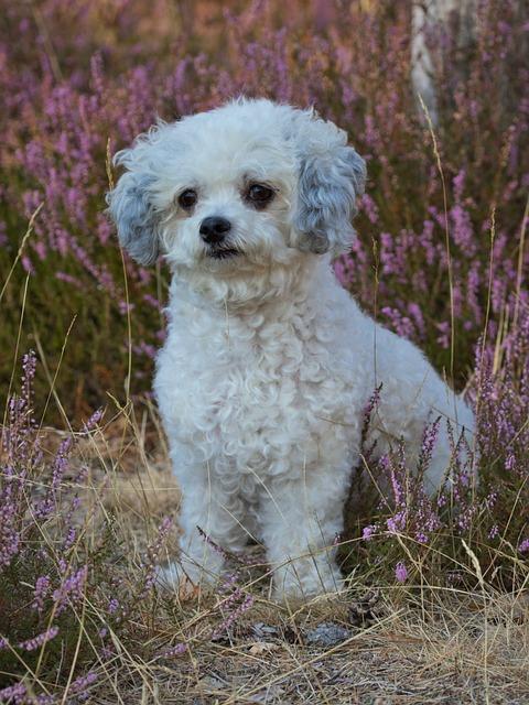 Dog, Bolonka, Cute, Pet, White, Wuschelig, Small, Heide