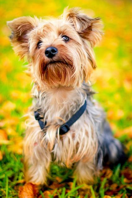 Animal, Dog, Pet, Cute, Autumn, Puppy, Yorkie