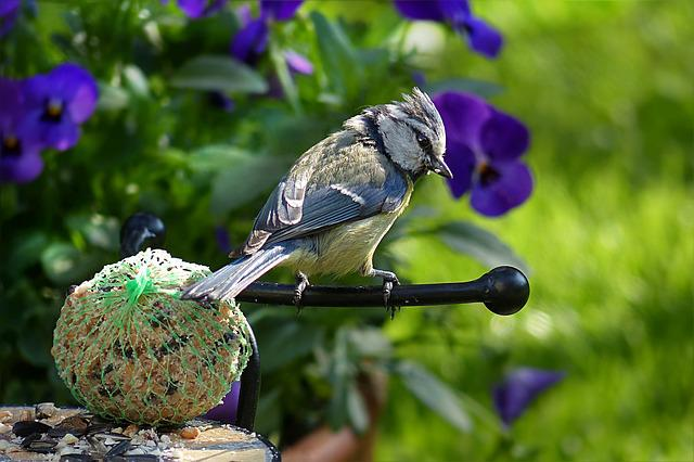 Blue Tit, Cyanistes Caeruleus, Bird, Young, Foraging