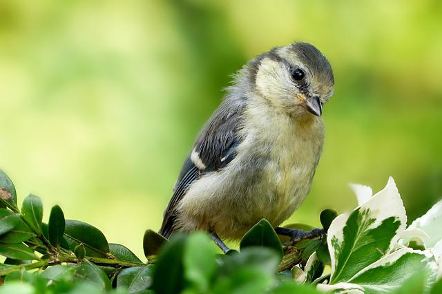 Animal, Bird, Tit, Blue Tit, Cyanistes Caeruleus, Young