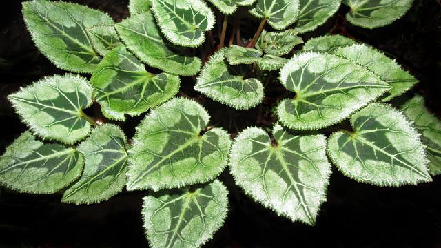 Cyclamen Leaves, Flora, Nature, Growth, Garden