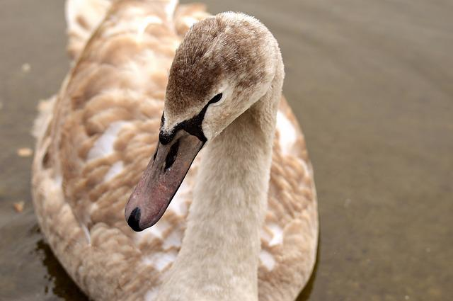 Swan, Young Animal, Cygnet, Water Bird, Water, Bird