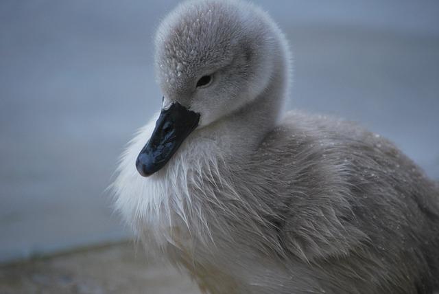 Swan, Chick, Cygnet, Nature, Bird, White Swan