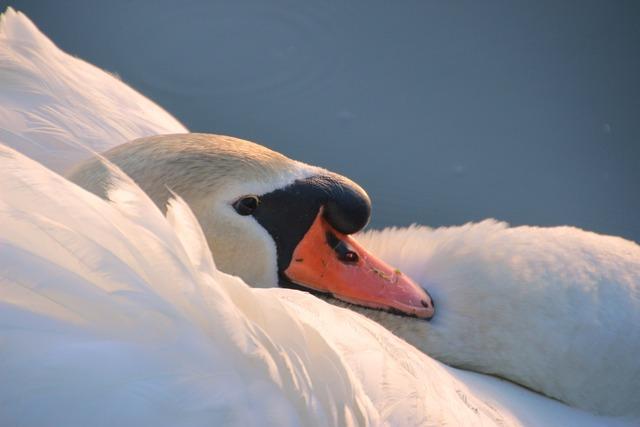 Swan, Mute Swan, Cygnus Olor, Head, Close, Water Bird