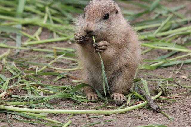Animals, Prairie Dog, Cynomys, Gophers, Rodent, Sweet