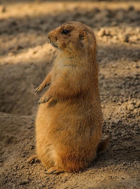 Prairie Dog, Cynomys, Burrowing Rodent, Ground Squirrel