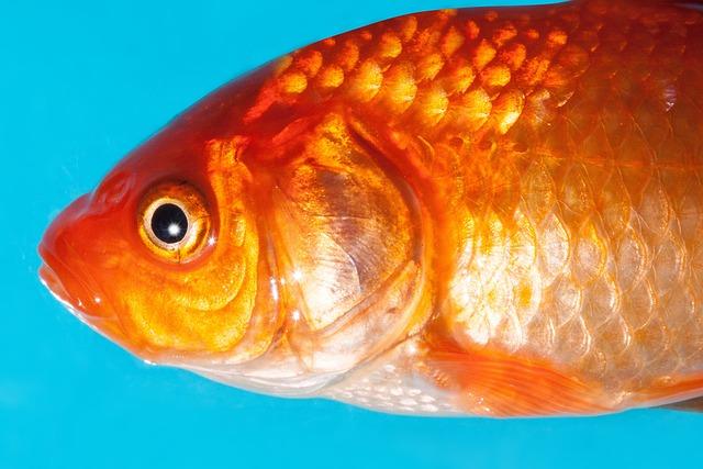 Goldfish, Freshwater Fish, Karpfenfisch, Cyprinidae