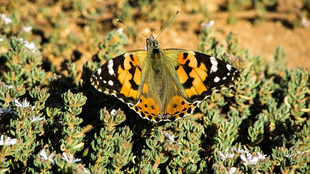 Cyprus, Cavo Greko, National Park, Butterfly, Insect