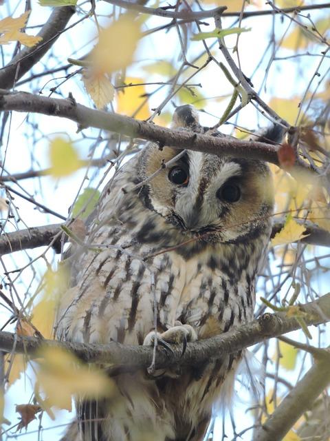 Owl, Long-eared Owl, Czech Budejovice, South Bohemia