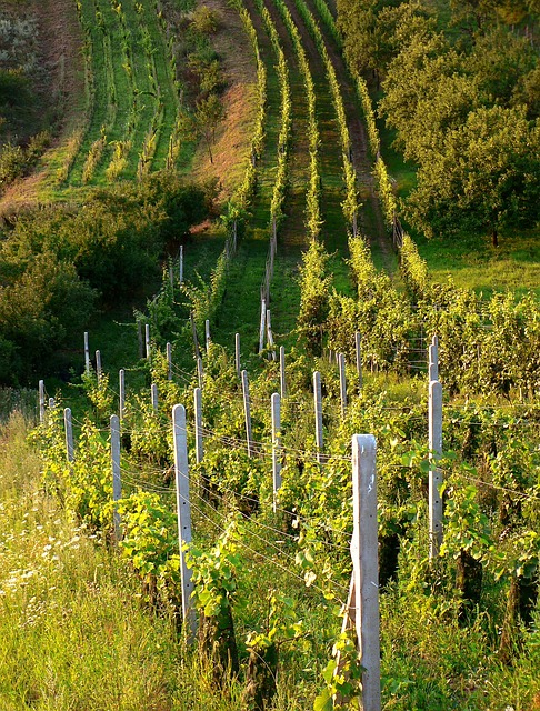 Czech, Wineyard, Moravia, Green, Country, Wine, Tree