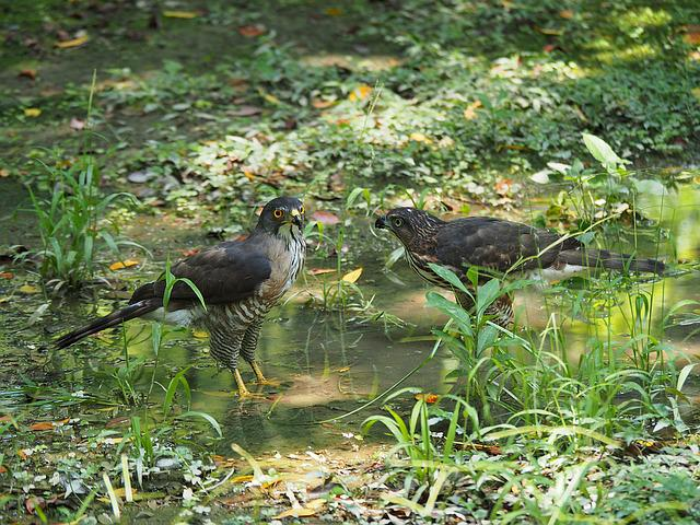 Crested Goshawk, Daan Park, Taipei, Father And Son
