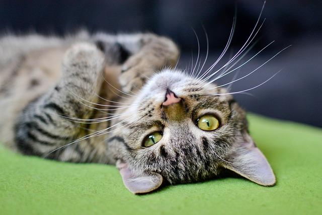 Cat, Bury Cat, Tabby, Domestic Cat, Animal, Dachowiec