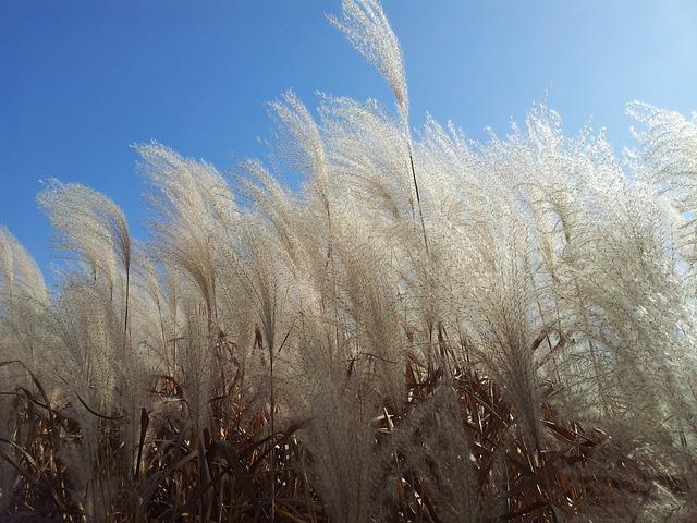 Daechung, Silver Grass, Autumn Sky