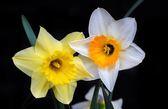 Daffodil, Color, Spring Flowers, Flower Garden