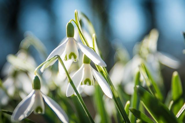 Daffodil, Plant, Blossom, Bloom, White, Back Light