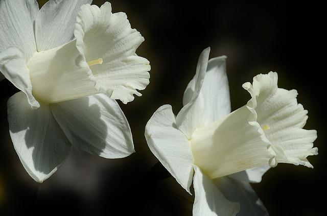 Daffodil, Flower, Easter Lily, Spring, White, Bloom