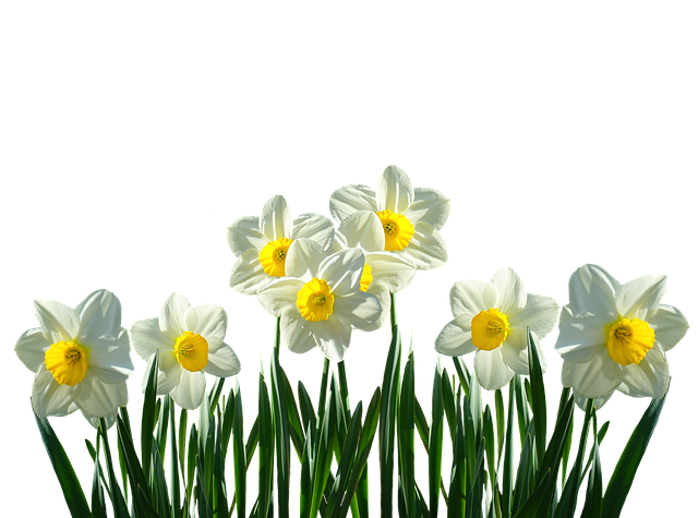 Daffodils, Osterglocken, Spring, Easter, Spring Flowers