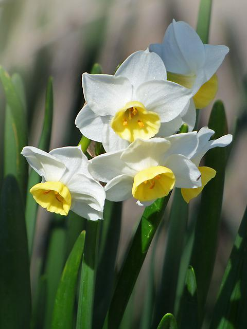 Daffodils, Flowers, Spring, Pancratium Maritimum