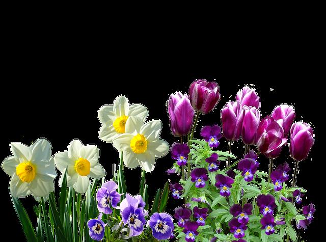Spring, Daffodils, Osterglocken, Tulips, Stirmütterchen