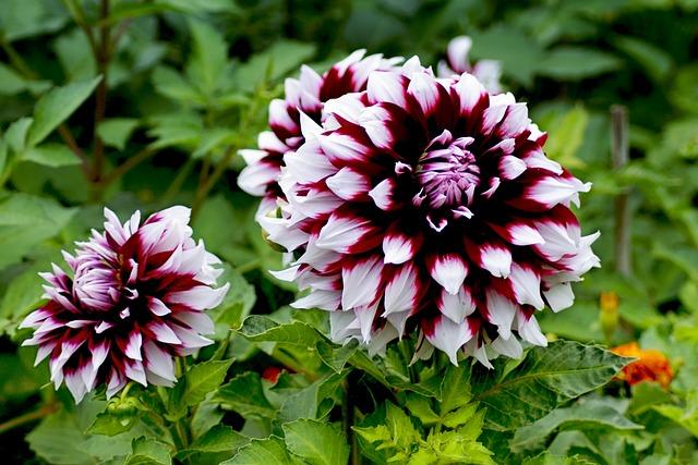Dahlia, Pink White, Autumn, Autumn Dahlias