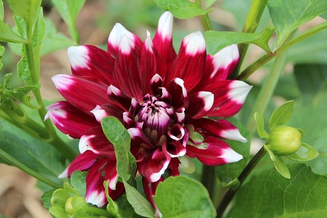 Dahlia, Red Dahlia White, Dahlia Bicolor, Flowering