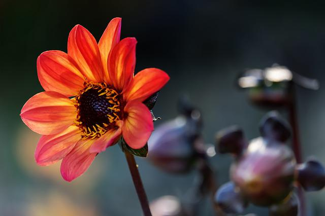 Dahlia, Flower, Blossom, Bloom, Yellow Orange