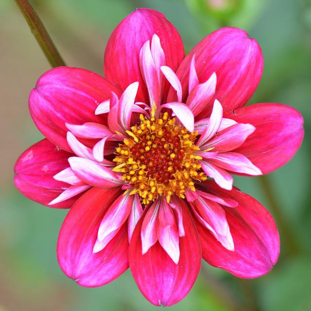 Flower, Nature, Dahlia, Beauty