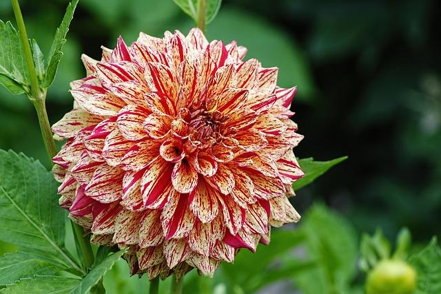 Dahlia, Flamed, Autumn, Autumn Dahlias, Dahlia Garden